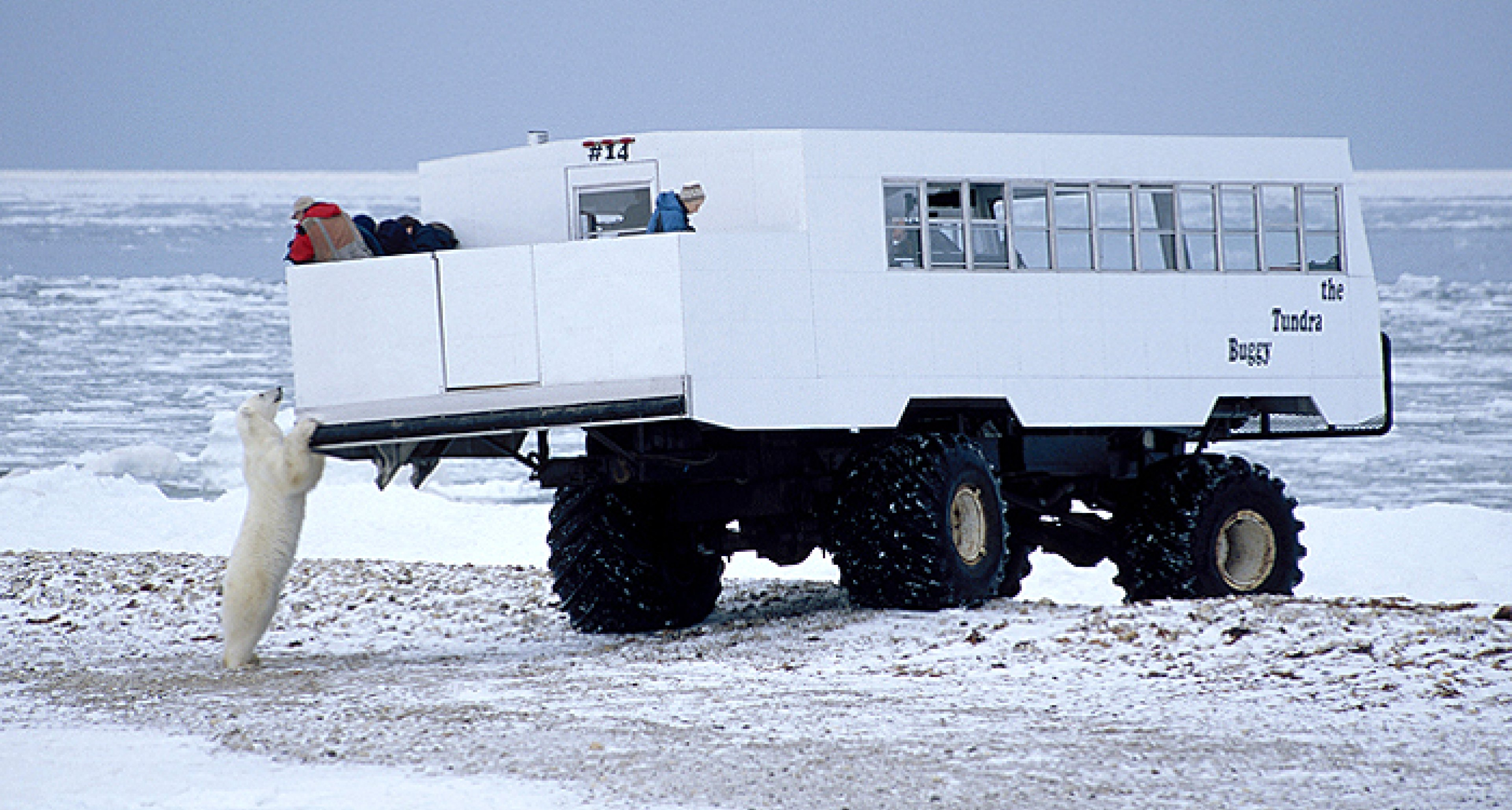 Tundra Buggy Dancing With Polar Bears Classic Driver